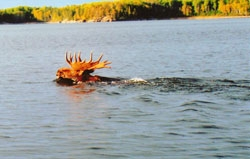 mooseswiming