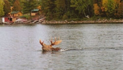 mooseswimingatcamp